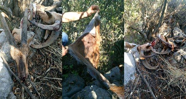 Dağ keçileri kaçak avcı kurbanı oldu