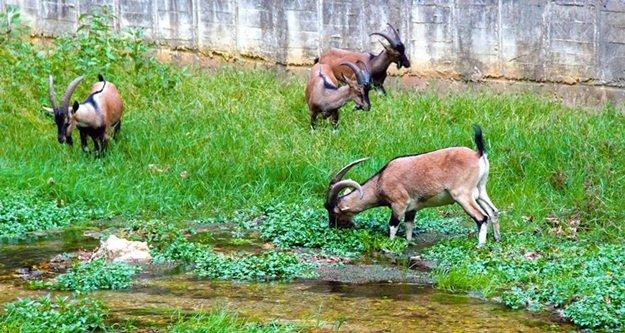Alanya'yı geyikler bastı