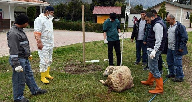 Yavruları karnında ölen koyun kurtarıldı