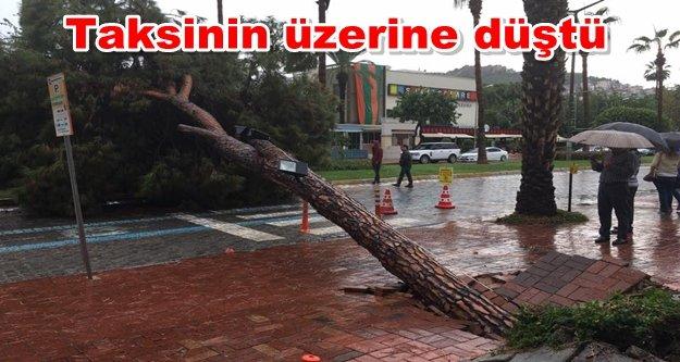 Alanya'da facia olabilirdi! Dev ağaç yola devrildi