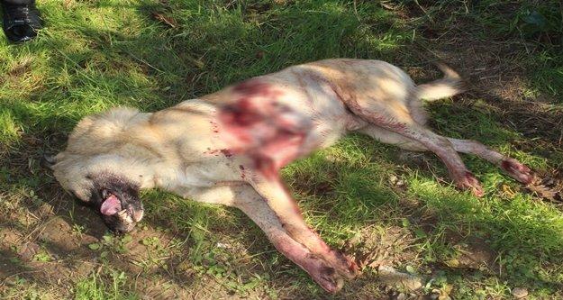Sokak köpeği av tüfeğiyle vurularak öldürüldü, 1 kişi gözaltına alındı