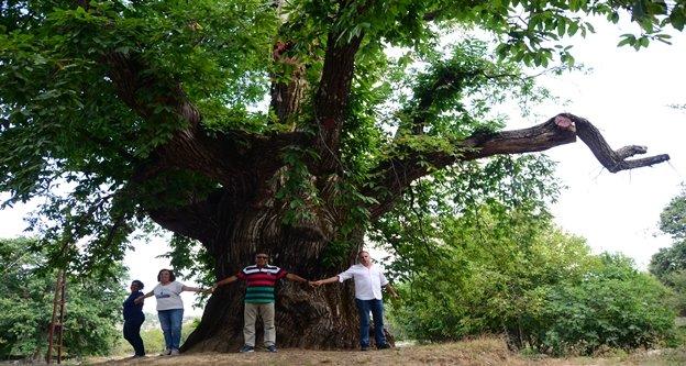 1000 yıllık kestane ağacı turistlerin ilgisini çekiyor