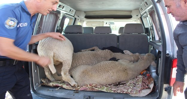 Koyun çaldılar, 'sünnet düğünü yapacaktık' dediler