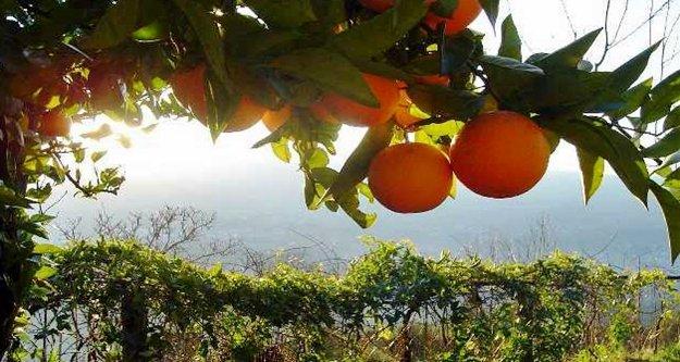 Alanya'da narenciye devri kapandı avokado devri başladı