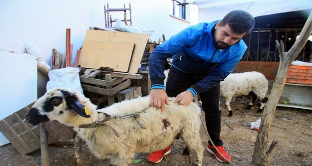 Gizemli koyun katliamı devam ediyor