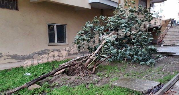 Alanya'da fırtına avokado ağaçlarını kökledi!