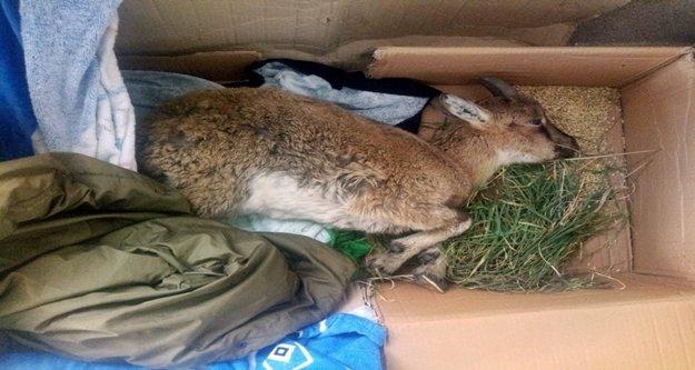 Yaralı yaban keçisi kurtarılamadı!