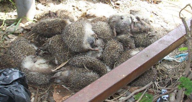 25 adet Kirpi ölüsü bulundu