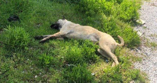 Alanya'da caniler bir köpeği daha katletti