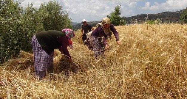 Türkiye'nin ilk buğday hasadı Gazipaşa'dan