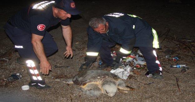 Dev Caretta Caretta köpeklerin saldırısına uğradı