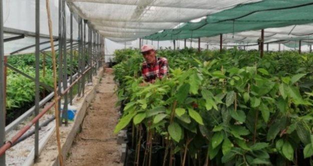 Alanya'da 8 çeşit avokado fidanı yetiştiriyor