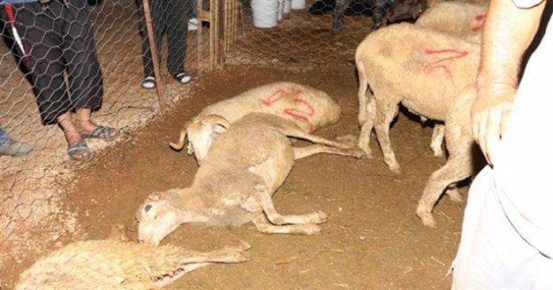 Alanya'da kurbanlıklar zehirlenip telef oldu
