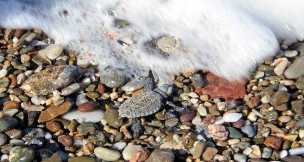 Alanya'da onlarca caretta mavi sularla buluştu