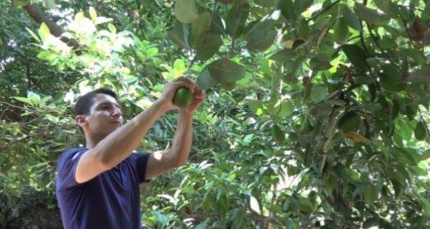 İşte Alanya'nın avokado hasadından beklentisi