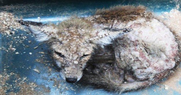 Enstitü çalışanlarından uyuz  tilkiye yardım eli
