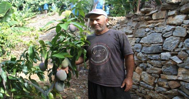 Tropikal meyveler kazanç kapısına dönüştü