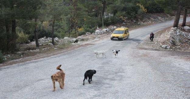 Yaylalara bırakılan köpekler ölüm kalım mücadelesi veriyor