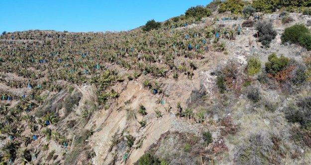 Gazipaşa'da selin sebep olduğu heyelan, yamaçlardaki muz bahçelerini vurdu