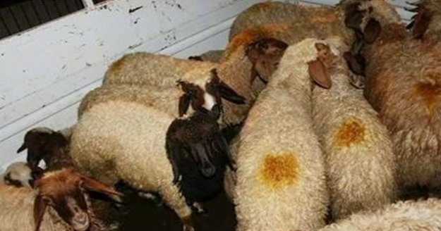 Koyun hırsızı jandarmadan kaçamadı