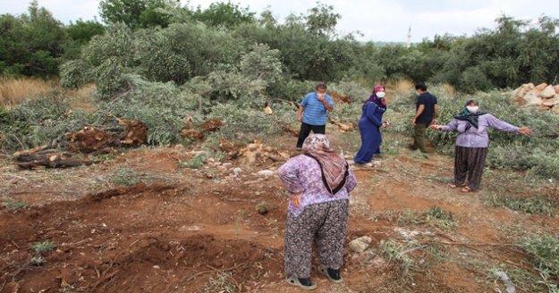 42 zeytin ağacı inşaat çalışması için katledildi