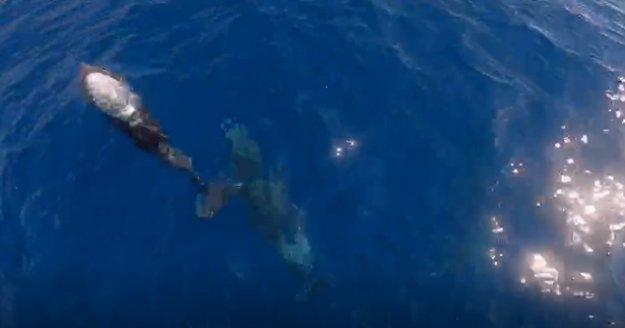 Alanya'da tekneyle birlikte yüzen yunuslar renkli görüntüler oluşturdu