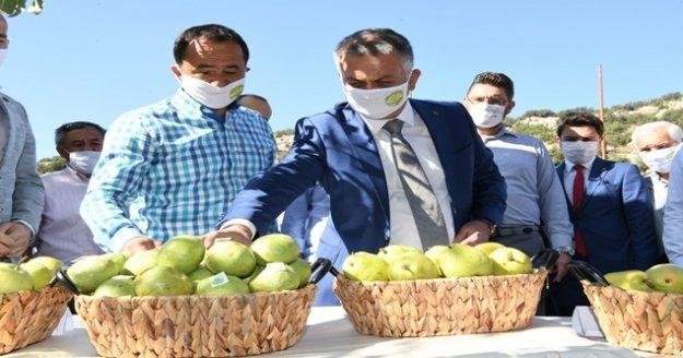 Vali Yazıcı'dan, Korkuteli'de Karyağdı Armudu hasadı