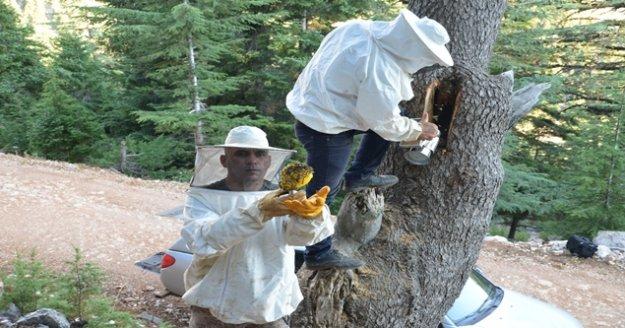 Firari arıların Toroslar'daki yuvalarını buluyor, balın kilosunu 500 liradan satıyorlar