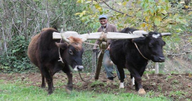 Teknolojinin giremediği arazilerde kara saban ve öküzler çiftçinin imdadına yetişiyor