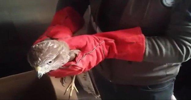 Belediye personelinin uçamaz halde bulduğu şahin, koruma altına alındı
