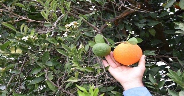 Kumluca'da kış ortasında meyve veren ağaçlar vatandaşı şaşırttı