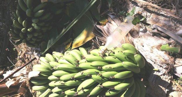 Alanya'da pişkin hırsız! Muzu çalıp bahçeye rakı bıraktı