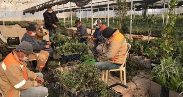 Büyükşehir çiftçi için adaçayı fidesi üretiyor