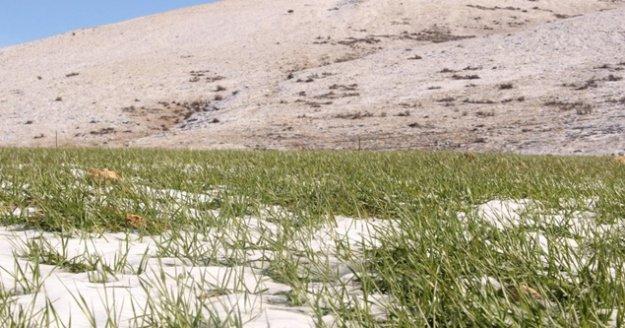 Büyükşehirin ata tohumları çimlendi