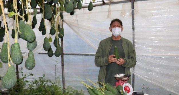 Alanya'da Türkiye'de ilk kez serada üretilen avakadonun hasadı yapıldı