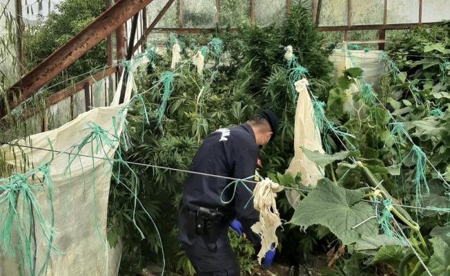 Alanya'da salatalık serasına uyuşturucu baskını