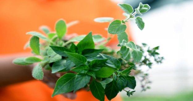Balkon bahçeciliğinde 2'nci etap aromatik bitkiler