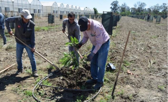 Avokadoya talep arttı, ekim alanları çoğaldı