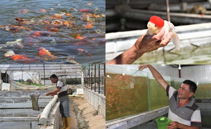 Domatesten istediği parayı kazanamayınca serada süs balığı üretmeye başladı