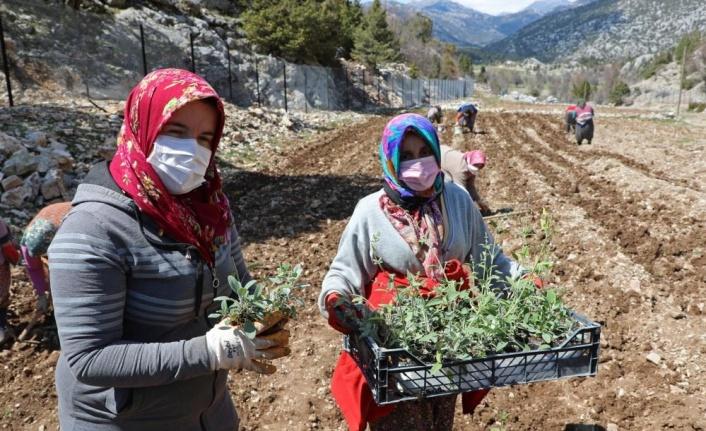 Çiftçiye tıbbi ve aromatik bitki hibesi