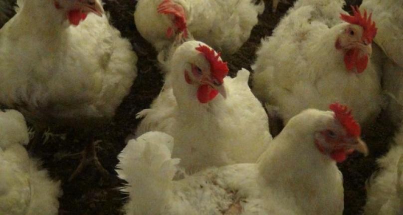 Çin'de ilk kez bir insana H10N3 kuş gribi tanısı kondu