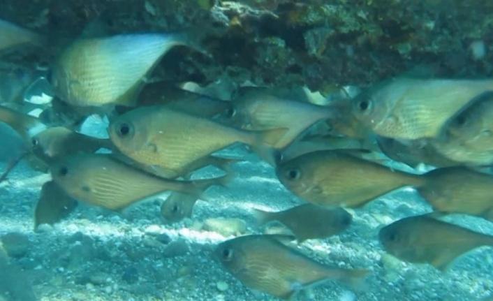 Kızıldeniz'den gelen üçgen balıklarının görsel şöleni