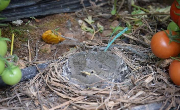 Seralar, kuluçkaya yatan kuşlara da yuva oldu