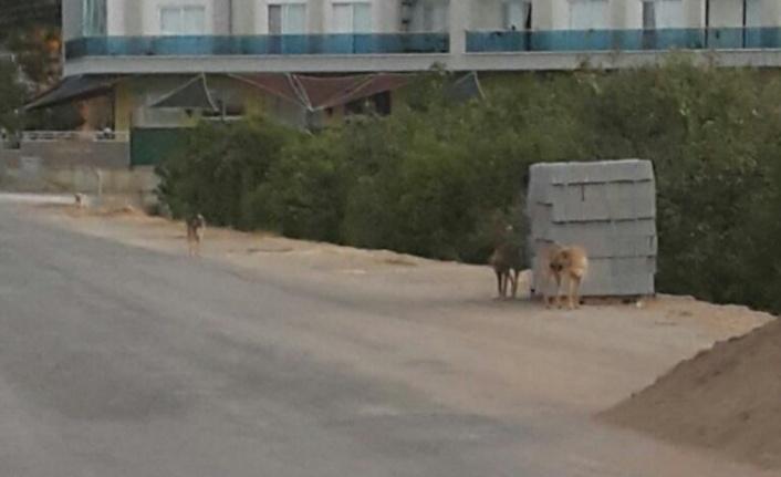 Alanya'da sokak köpeği kabusu