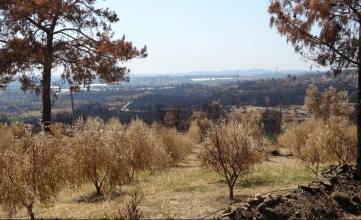 Yangında 18 bin dönüm zeytin ağacı yandı