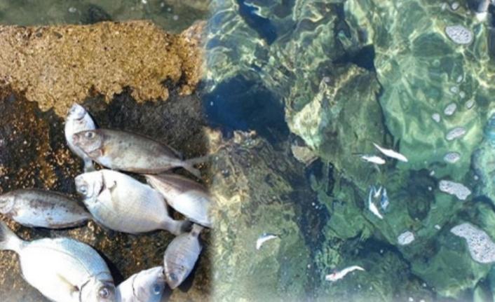 Alanya'da bu balıklar neden ölüyor?