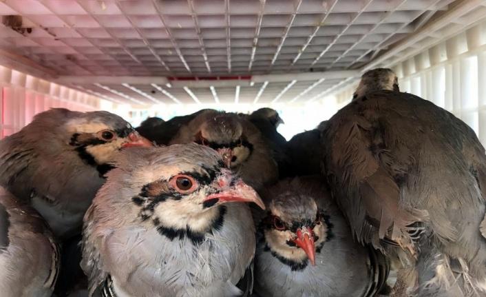 640 mahallesinde 18 bin kınalı keklik doğaya salınıyor