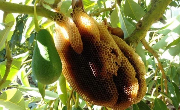 Alanya'da 'Gerçek Avokado Balı' ilgi gördü
