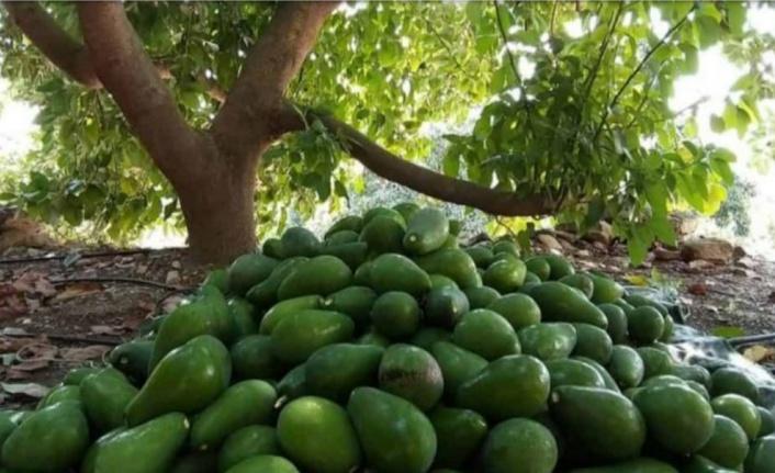 Avokado hırsızları Alanya Cezaevinde