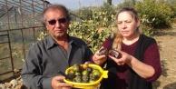 Türkiye#039;nin ilk çikolata meyvesini yetiştirdi